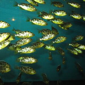 Цихлида «Золотой леопард» (Nimbochromis venustus)