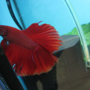 Рыбка петушок, самец