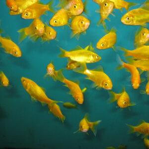 Золотая рыбка КОМЕТА ЛИМОННАЯ