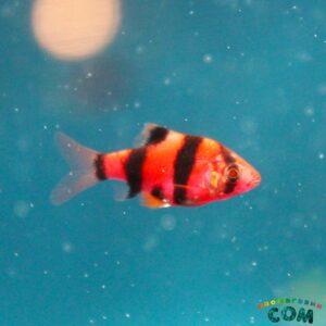 БАРБУС СУМАТРАНСКИЙ КРАСНЫЙ Glo Fish