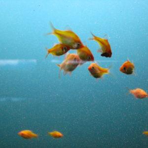 БАРБУС АЛЬБИНО СУМАТРАНСКИЙ ЗЕЛЕНЫЙ Glo Fish