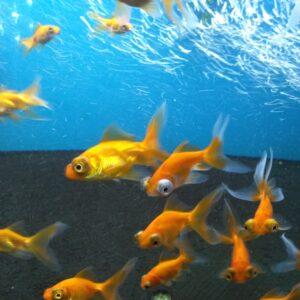 Золотая рыбка Телескоп красный