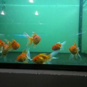 Золотая рыбка — Оранда красная