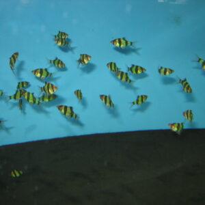 Барбус суматранский зеленый Glo Fish