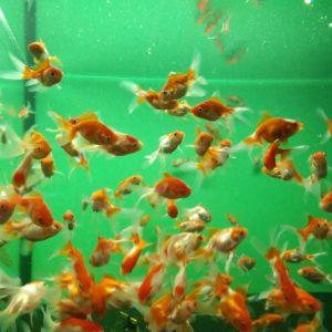 Золотая рыбка Вуалехвост красно-белый
