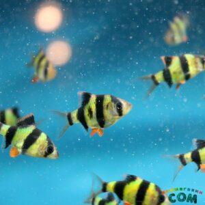 Барбус суматранский зеленый GloFish
