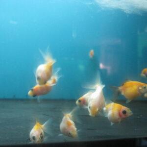 Золотая рыбка —Жемчужинка