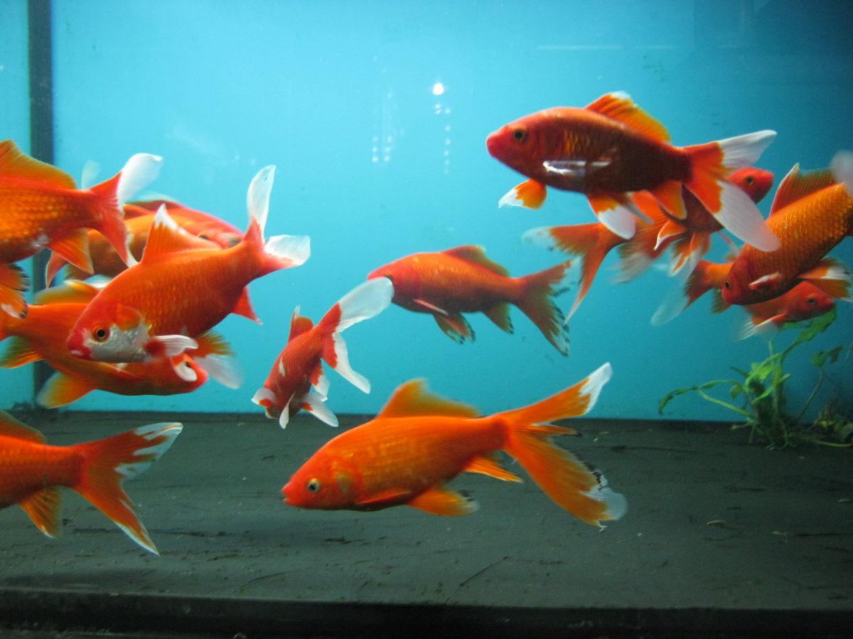 Золотая рыбка Комета красная