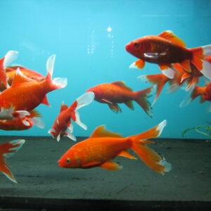 Золотая рыбка Комета красная  20см