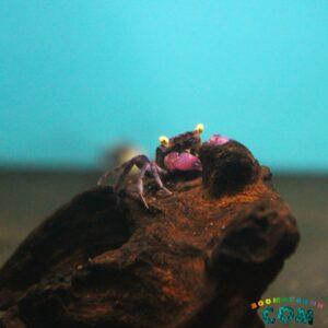 Краб Пурпурный